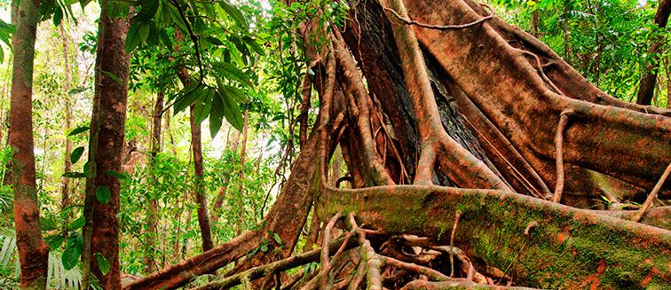 Forêt de Daintree